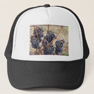 Red grapes on the vine . Tuscany, Italy Trucker Hat