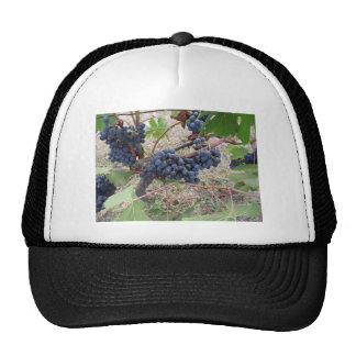 Red grapes on the vine with green leaves cap