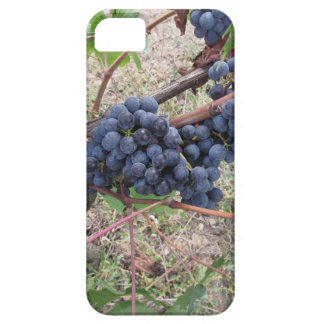 Red grapes on the vine with green leaves iPhone 5 cases