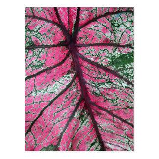 Red & Green Caladium Leaf 6516 Postcard