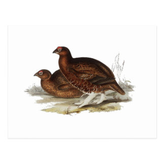 Red Grouse Postcard