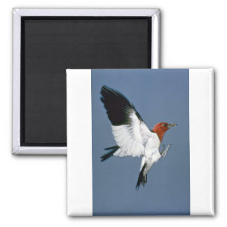 Red-headed Woodpecker in flight Magnet