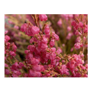 Red Heather flowers Postcard
