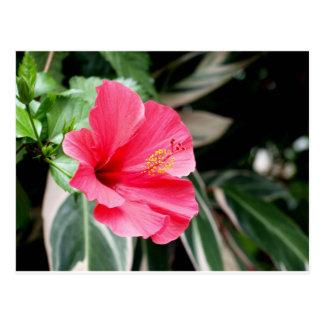 Red hibiscus flower large bloom postcard