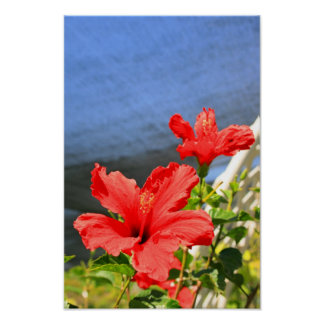 Red Hibiscus Flowers Poster