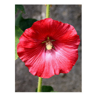 Red hollyhock flower in bloom postcard