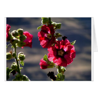 Red Hollyhocks in a summer garden Card