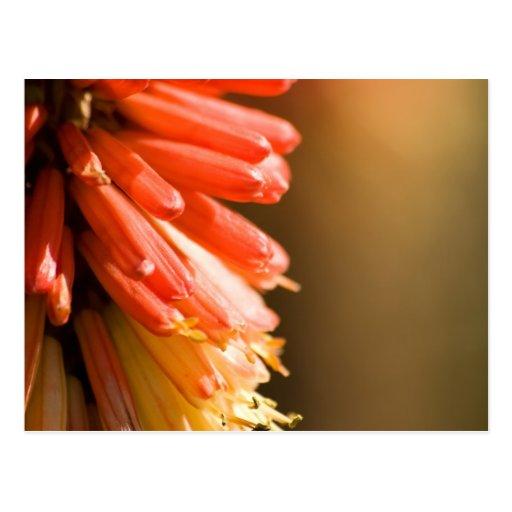Red Hot Poker flower Post Cards