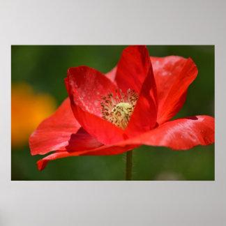 Red Iceland Poppy Flower Poster
