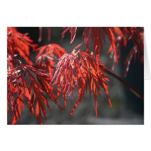 Red Japanese Maple Note Card