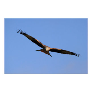 Red Kite Soaring Print