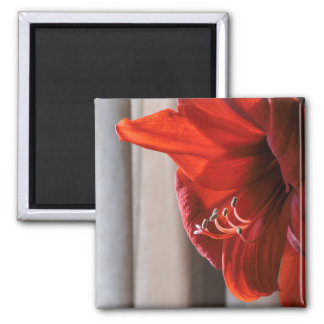 Red Lion Amaryllis Flower Macro Photo Magnet