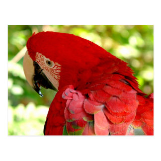 Red Macaw Parrot Postcard