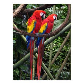 red macaws post card