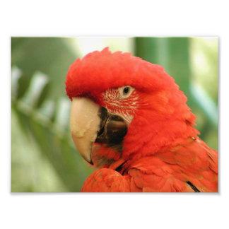 Red Mackaw parrot Photo Art