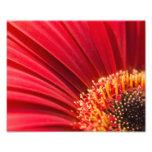 Red Macro Gerbera Daisy Flower