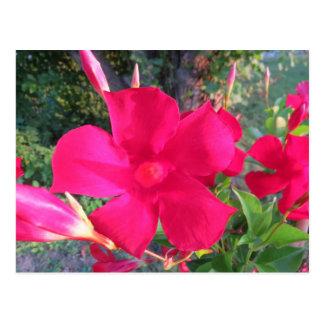 Red Mandavilla Vine Flowers Postcard