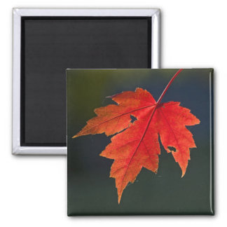 Red Maple Acer rubrum) red leaf in autumn, Square Magnet