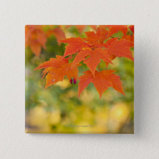 Red Maple Leaves in Autumn 15 Cm Square Badge