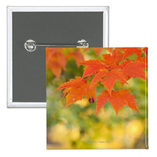 Red Maple Leaves in Autumn Pins