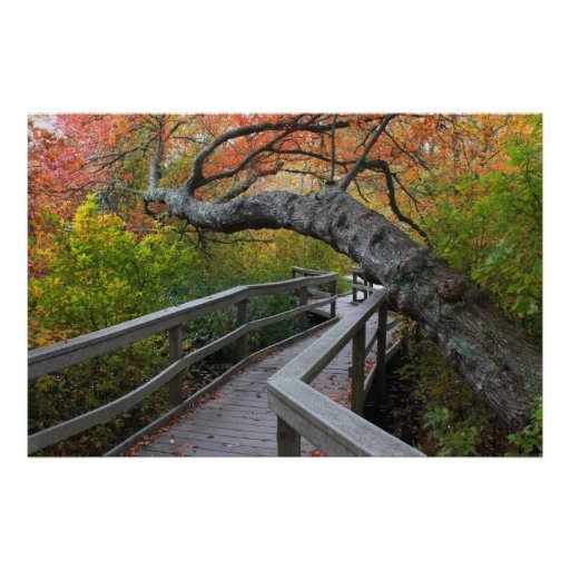 Red Maple Swamp Boardwalk Cape Cod Posters