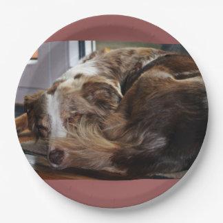 red merle aussie sleeping 2 paper plate