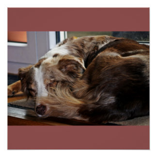 red merle aussie sleeping 2 poster