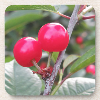 Red Montmorency cherries on tree in cherry orchard Beverage Coaster