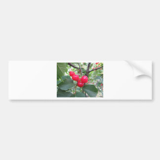 Red Montmorency cherries on tree in cherry orchard Bumper Sticker
