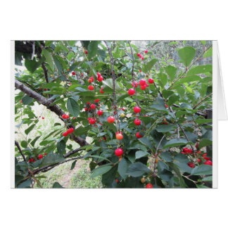 Red Montmorency cherries on tree in cherry orchard Card