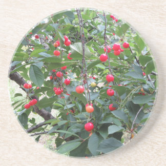 Red Montmorency cherries on tree in cherry orchard Coaster