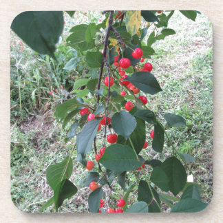Red Montmorency cherries on tree in cherry orchard Drink Coaster