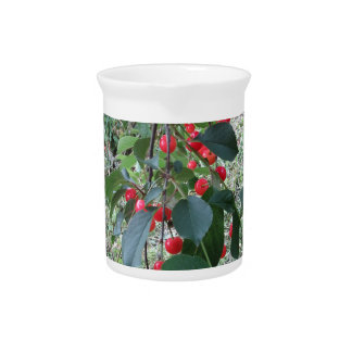 Red Montmorency cherries on tree in cherry orchard Pitcher