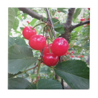 Red Montmorency cherries on tree in cherry orchard Tile