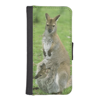 Red-necked Wallaby, Macropus rufogriseus),