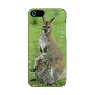 Red-necked Wallaby, Macropus rufogriseus), Incipio Feather® Shine iPhone 5 Case