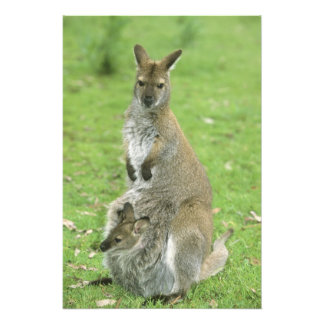 Red-necked Wallaby, Macropus rufogriseus), Photo Print