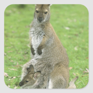 Red-necked Wallaby, Macropus rufogriseus), Square Sticker