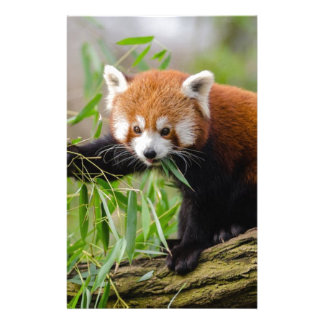 Red Panda Eating Green Leaf Stationery