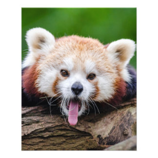 Red Panda Flyer