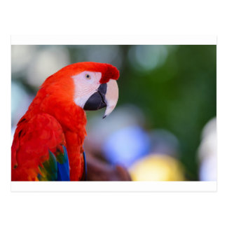 Red Parrot Photograph Postcard