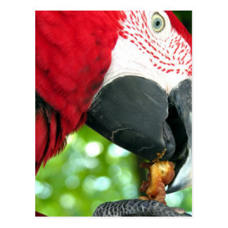 Red Parrot Postcard