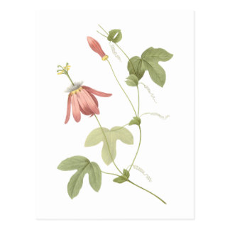 red passion flower(Passiflora racemosa) by Redouté Postcard