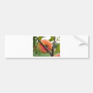 Red peaches hanging on the tree . Tuscany, Italy Bumper Sticker