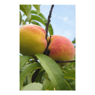 Red peaches hanging on the tree . Tuscany, Italy Customised Stationery