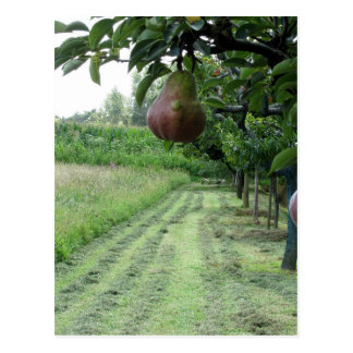 Red pears on tree branches postcard