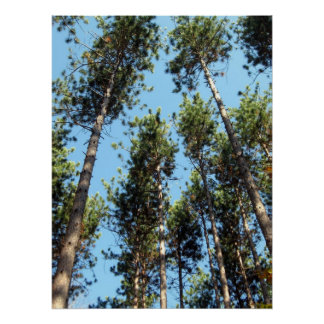 Red pine forest poster