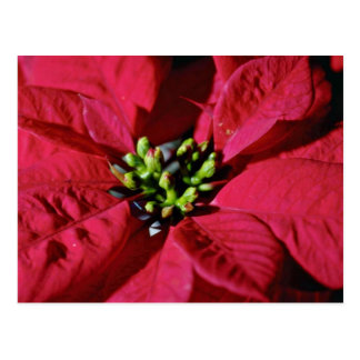 Red Poinsettia Closeup flowers Postcards