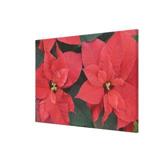 Red Poinsettia Detail (Euphorbia pulcherrima) Canvas Prints