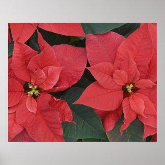 Red Poinsettia Detail (Euphorbia pulcherrima) Poster